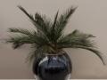 plantes d'intérieur chamaerops