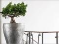 plantes d'intérieur ficus