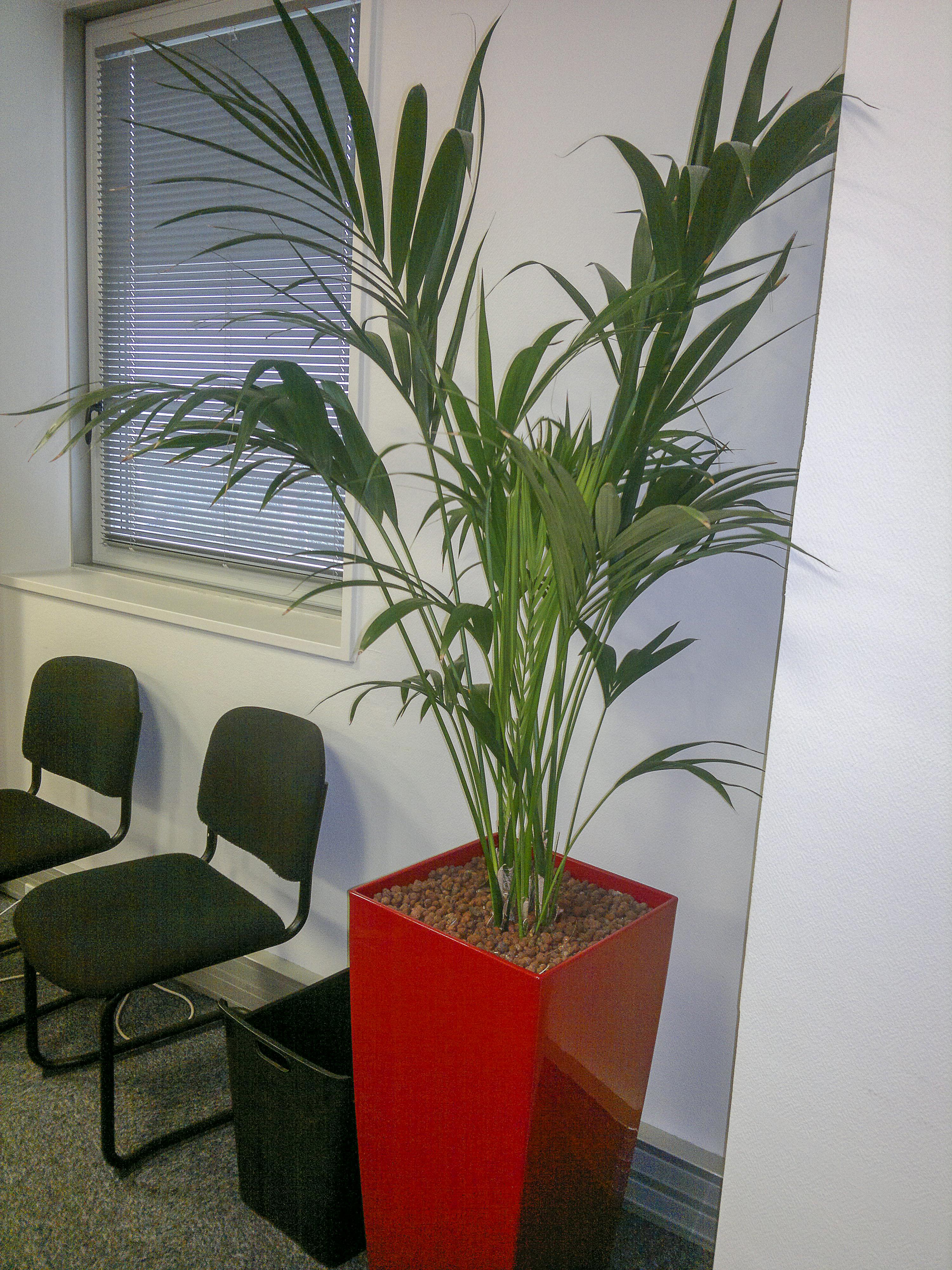 Kentia palmier